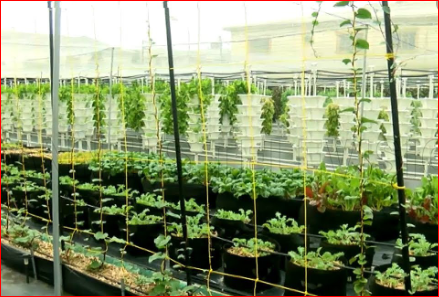 NABDA – Promoting The Cultivation Of Yam With Hydroponics