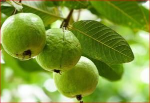 Guava health benefits and its appendix conspiracy