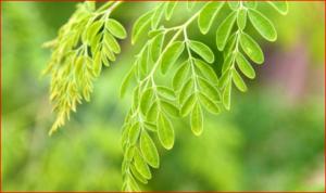 Moringa and Moringa Tea – Benefits, Risk And More