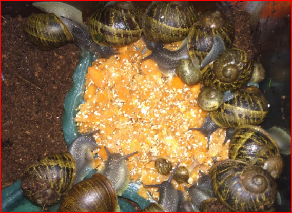 Snail Farming Continued; Feeding Your Snails