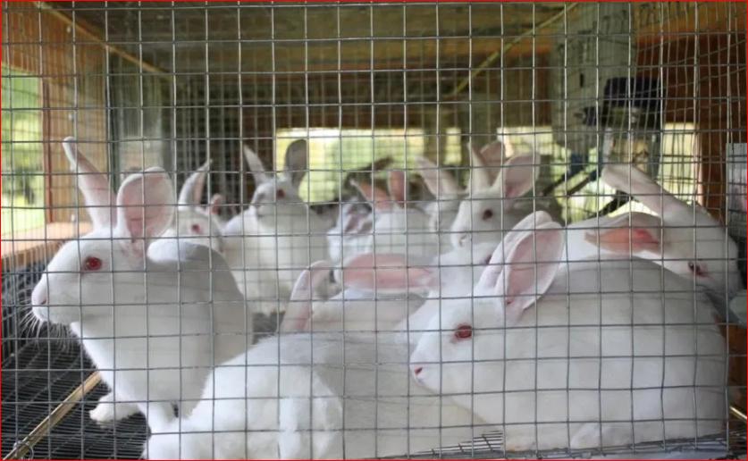 Keynote For A Successful Rabbit farming In Nigeria