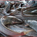Diseases Of Fish In Nigeria And Their Treatments